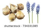 bulbs and blue flowers of...   Shutterstock . vector #734331385