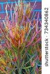 fire stick succulent | Shutterstock . vector #734340862