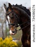 portrait of dressage horse in... | Shutterstock . vector #734380276