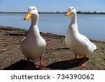 Two Cute White Ducks With...