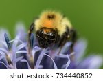 Bumble Bee Three Ocelli And Tw...