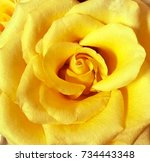 Yellow Rose Closed Up Background