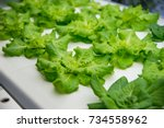soilless culture of vegetables... | Shutterstock . vector #734558962