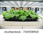 soilless culture of vegetables... | Shutterstock . vector #734558965