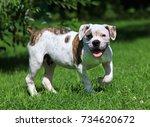 beautiful american bulldog... | Shutterstock . vector #734620672