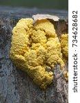 Small photo of Fuligo septica mushrooms (slime mould) on an old stump