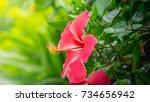 Red Hibiscus Rosa Sinensis...