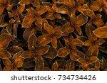 The Coleus Plant With Orange...