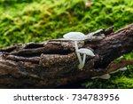 white mushroom on green moss in ... | Shutterstock . vector #734783956