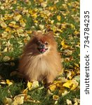 cheerful dog pomeranian sitting ... | Shutterstock . vector #734784235