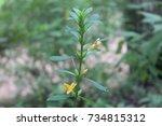porcupine flower medicinal plant | Shutterstock . vector #734815312