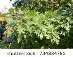 oak branch marsh it is... | Shutterstock . vector #734834782