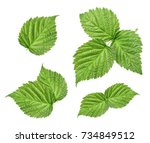 raspberry leaves isolated on... | Shutterstock . vector #734849512