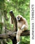 gibbon | Shutterstock . vector #734862475