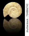Small photo of Well preserved fossilization of an extinct ammonite.