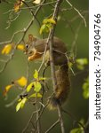 Small photo of An American red squirrel sits on a branch in Grand Teton National Park, Wyoming.