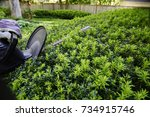 after the yard work  yew bush... | Shutterstock . vector #734915746