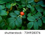 Stock photo red brier berry on bright green branch lush leaves close up juiced picture of one cancer berry 734928376