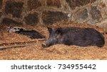 the wild boar  sus scrofa  ... | Shutterstock . vector #734955442