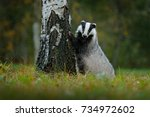 Badger in the forest, animal in nature habitat, Germany. Wild Badger, Meles meles in the wood. Mammal in environment, rainy day.