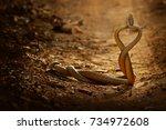 indian rat snakes in fight ... | Shutterstock . vector #734972608