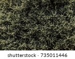 cotton lavender bush dense... | Shutterstock . vector #735011446