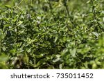 lush green mint plant from side ... | Shutterstock . vector #735011452