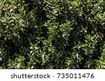 common myrtle bush plant leaves ... | Shutterstock . vector #735011476