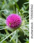Small photo of Big pink Woolly Thistle flower with bumblebees (Cirsium eriophorum)