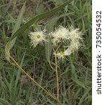 white australian native flowers ... | Shutterstock . vector #735054532