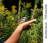 A Black Capped Chickadee In Th...