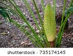 Dwarf Palm Tree With Its Big...