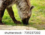 spotted hyena | Shutterstock . vector #735237202