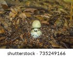 Small photo of Known as the false death cap, or Citron Amanita, Amanita citrina (previously also known as Amanita mappa), is a basidiomycotic mushroom. Young example of this mushroom. Toxic mushroom!