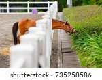 young brown color horse have... | Shutterstock . vector #735258586