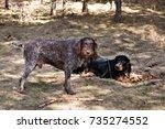 drathaar and gordon setter in a ... | Shutterstock . vector #735274552