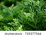 Small photo of Selaginella is a fern ally that has green color and beautiful texture. Best for background use.