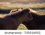 two young icelandic horse foals ... | Shutterstock . vector #735516052