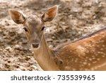Young Roe Deer Portrait.