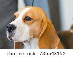 portrait of beautiful beagle.... | Shutterstock . vector #735548152