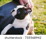 Young Boston Terrier Puppy On...
