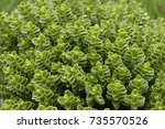 Hebe    Evergreen Plant With...