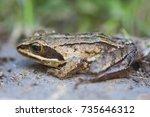 The Moor Frog  Rana Arvalis  I...