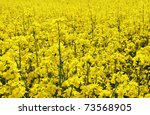 The Yellow Field With Rapeseed...