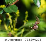 Spotted Orb Weaver Spider On...
