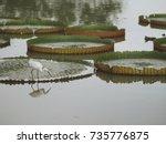 great white egret  egretta alba ... | Shutterstock . vector #735776875