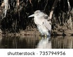juvenile night heron | Shutterstock . vector #735794956