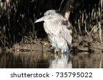 juvenile night heron | Shutterstock . vector #735795022