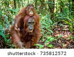 on a mum s back. baby orangutan ... | Shutterstock . vector #735812572