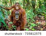 on a mum s back. baby orangutan ... | Shutterstock . vector #735812575